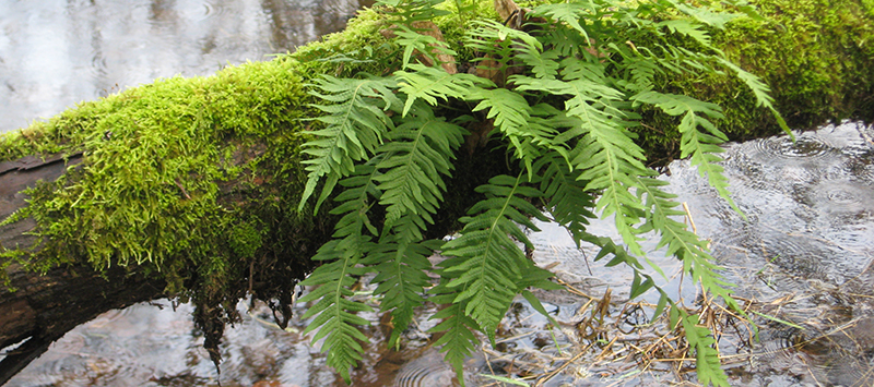 fern grows out of a downed, moss covered tree over water